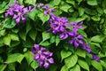 Violette Blumen gegen grüne Blätter Stockfotografie