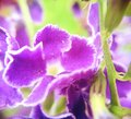 Violette gouden dew drop duif bes hemel bloem Stock Fotografie