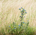 Viper s bugloss in its natural habitat blueweed or echium vulgare blooming dutch dunes Stock Photo