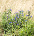 Viper s bugloss in its natural habitat blueweed or echium vulgare blooming dutch dunes Royalty Free Stock Photo