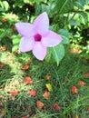 Virgin Islands Flowers Royalty Free Stock Photo