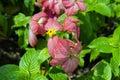 Virgin tree mussaenda philippica or in garden thailand Stock Photo