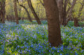 Virginia bluebell landscape nordica Immagine Stock