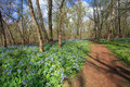 Virginia bluebell walk each april bull run regional park in centreville showcases the most impressive display of bluebells these Stock Image
