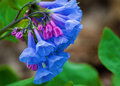 Virginia Bluebells – Mertensia virginica Royalty Free Stock Photo