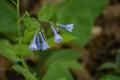 Virginia Bluebells – Mertensia virginica Royalty Free Stock Photo