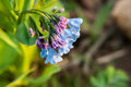 Virginia bluebells cluster of blue and purple in sunlight against blurred background shallow depth of field Stock Photography