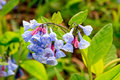 Virginia Bluebells Cluster Royalty Free Stock Photo