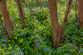 Virginia bluebells in Harper's Ferry, West Virginia Royalty Free Stock Photo