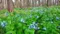 Virginia bluebells in illinois mertensia virginica sway the wind at oak ridge forest preserve Stock Photography