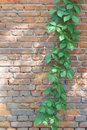 Virginia creeper the close up of scientific name parthenocissus thomsoni on brick wall Royalty Free Stock Image