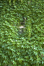 Virginia creeper covered wall with window