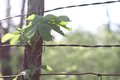 Virginia creeper on fencepost a vine climbs toward the top of a hedge Stock Image