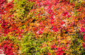 Virginia creeper ivy background Stock Image