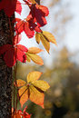 Virginia creeper with red leafs in backlight climbing upp a tree Royalty Free Stock Photo