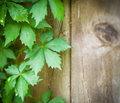 Virginia Creeper Vines on Weathered Wooden Fence Barn Wood Royalty Free Stock Photo