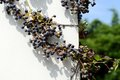Virginia creeper on the wall with leaves and berries Stock Photo