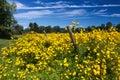 Virginia Fall Yellow Wildflowers Royalty Free Stock Photo
