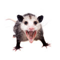 The Virginia opossum, Didelphis virginiana, on white Royalty Free Stock Photo