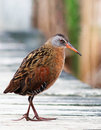 Virginia Rail Stock Images