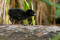 Virginia Rail Stock Photo