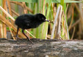 Virginia Rail baby Stock Images