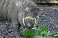 Visayan warty pig a eating leaves Stock Photo