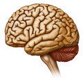 Vista lateral del cerebro humano illustration of a human brain in side view Royalty Free Stock Photos