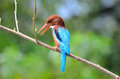 Vit-throated kingfisher Royaltyfria Bilder
