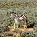 Vitela do bebê das zebras de áfrica do sul Imagens de Stock Royalty Free