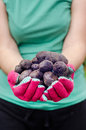 Vitelotte potatoes in hands freshly picked Stock Images
