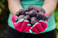 Vitelotte potatoes in woman s hands Stock Photos