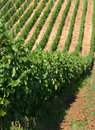Viticulture Stock Photo