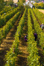 Viticulture Royalty Free Stock Photo