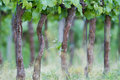 Viticulture beautiful rows of grapes in spring Stock Photo