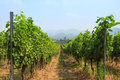 Viticulture green vineyard in the volley Royalty Free Stock Image