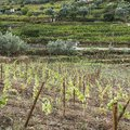 Viticulture in Portugal Royalty Free Stock Photo