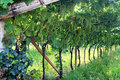 Viticulture in the province of Trento, Italy Royalty Free Stock Photo