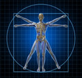 Vitruvian Human Skeleton Man Royalty Free Stock Photos