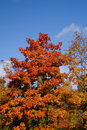 Vivid autumn tree Royalty Free Stock Photo