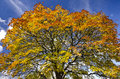 Vivid autumn tree-top against a blue sky backround Stock Images