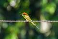 Vivid bee eater bird color Royalty Free Stock Photos