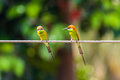 Vivid bee eater bird color Royalty Free Stock Images