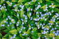 Vivid blue flowers Forget-me-not blossoming in spring. Royalty Free Stock Photo