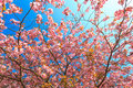 Vivid color of Cherry Blossom or Sakura flower Royalty Free Stock Photo