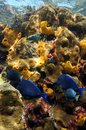 Vivid colors of coral reef under the sea with fish tube worms and sponges caribbean jamaica Royalty Free Stock Image