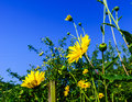 Vivid colors of yellow summer flowers on blue sky background Royalty Free Stock Photo