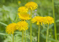 Vivid dandelion flowers Stock Photography