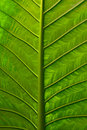 Vivid Leaf Royalty Free Stock Image
