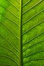 Vivid Leaf Royalty Free Stock Photo